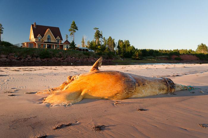 whale carcass - Basin Head beach