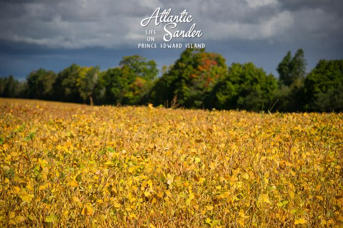 Field of soy - Kings County