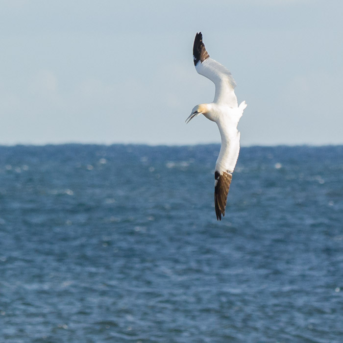 northern gannet - East Point