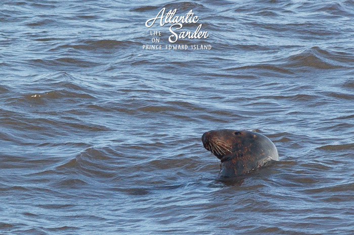 red grey seal - East Point