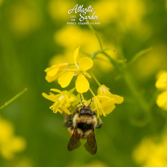 canola pollinator - Gowan Brae