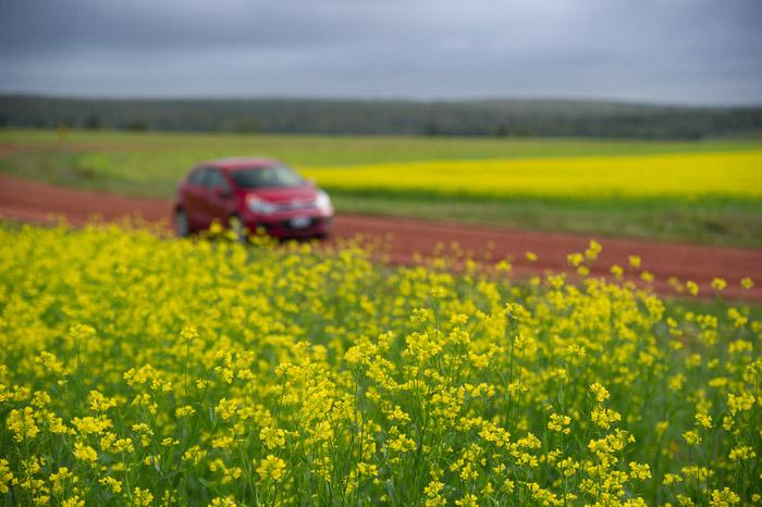canola crops - Gowan Brae