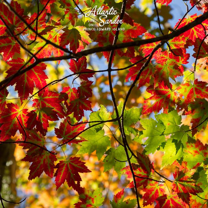Fall colours on Sanderson Farm Trail - Greenwich