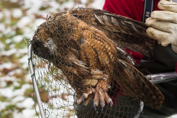 great horned owl in a net